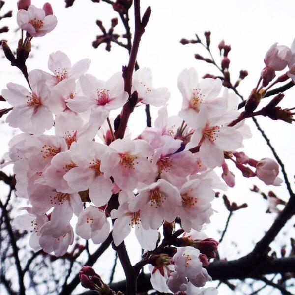 Aroomõli Jaapani kirsiõis 20 ml-500 ml